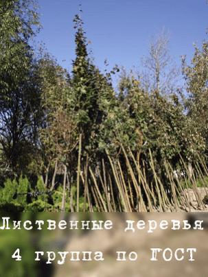 Лиственные деревья 4 группа по ГОСТ