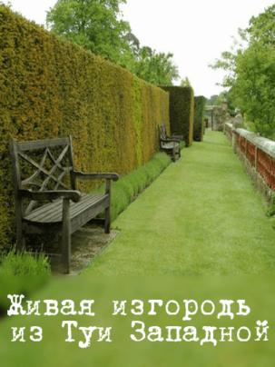 Живая изгородь из Туи Западной (Thuja Brabant, Thuja Smaragd)