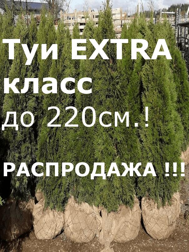 Туи ЭКСТРА класса до 220см!