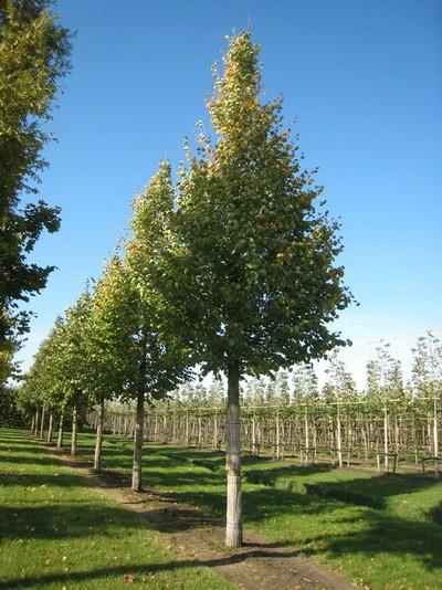 Липа Европейская (Обхват ствола 25-30 см. Высота 4 метра)