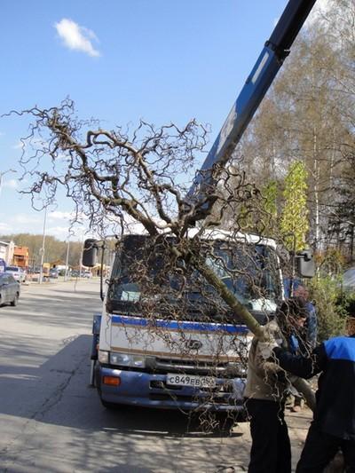 Лещина Орешник (Обхват ствола 20-25 см. Высота 3,25 метра)