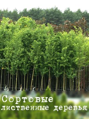 Сортовые лиственные деревья